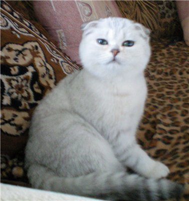 Продажа котят и кошек купить котенка или кошку