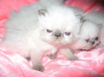 персы коты фото